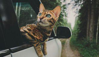 Mèo sợ xe hơi không còn là nỗi lo nếu nắm được những mẹo này