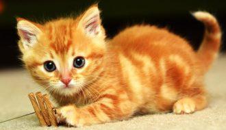 Mèo vàng - 1 trong 3 loài mèo ta đang được săn đón