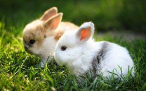 Nuôi và chăm sóc thỏ cảnh mini
