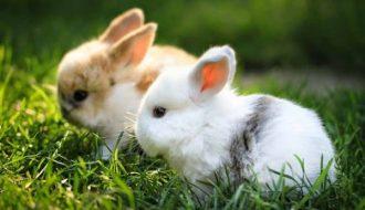 Mô hình nuôi và làm thế nào để nuôi thỏ cảnh mini?
