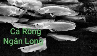Nguồn gốc và kỹ thuật chăm sóc cá rồng ngân long