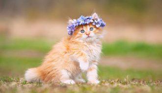 Nguồn gốc xuất xứ và đặc điểm của mèo Anh lông dài