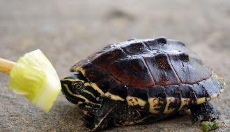 Nhìn màu sắc của phân rùa để nhận biết rùa nuôi bị bệnh