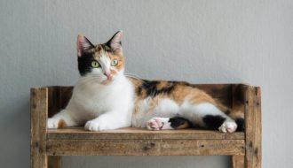 Những bí ẩn về giống mèo mang lại sự may mắn: Mèo tam thể