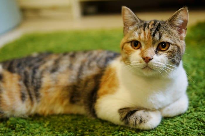 Mèo tam thể được tìm thấy nhiều nhất ở Pháp, Ý và Địa Trung Hải