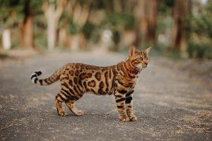 Hình ảnh mèo Bengal