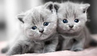Những đặc điểm đáng yêu của mèo Anh lông ngắn