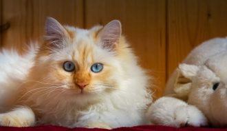 Những đặc điểm nổi bật của giống mèo Ragdoll