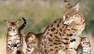 Những đặc điểm nổi bật của giống mèo Savannah