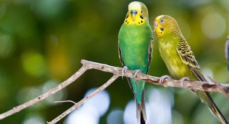 Chim Yến Phụng có bộ lông sặc sỡ