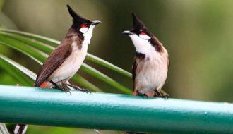 Những điều cần biết để nuôi chim Chào Mào con lớn nhanh và hót hay