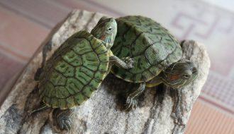 Những điều cần lưu ý khi nuôi rùa cảnh con cho người mới nuôi