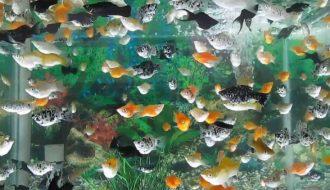 nuôi cá cảnh là cả một quá trình