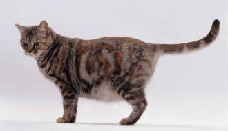 Những kiến thức bạn cần biết về quy trình phối giống cho mèo