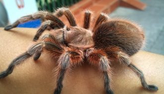 Những loài nhện cảnh đang được ưa chuộng tại Việt Nam