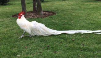 Những lưu ý chọn giống gà và thiết kế chuồng nuôi cho gà Phượng Hoàng