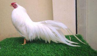 Những lưu ý trong quá trình nuôi và chăm sóc gà tre cảnh