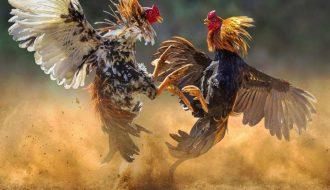 Những lưu ý trong việc nuôi và chăm sóc gà chọi mạnh khỏe