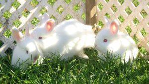 Những lưu ý khi nuôi thỏ