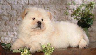 Nuôi chó Chow Chow: Đảm bảo đủ dinh dưỡng và huấn luyện đúng cách