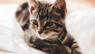 Nuôi dưỡng và kinh doanh mô hình mèo cảnh có thực sự khó hay không?