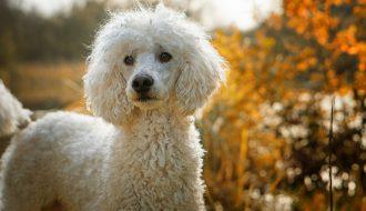 Poodle (chó săn vịt) - Giống chó dễ thương được nhiều người yêu mến