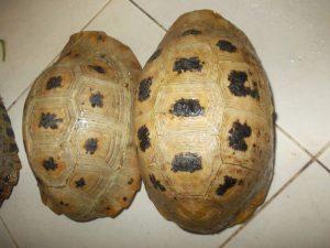 Những con rùa núi vàng rất bắt mắt
