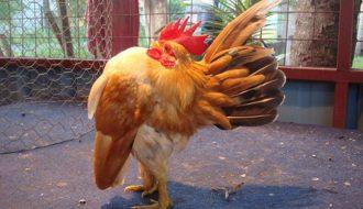 Serama - giống gà được yêu thích nhất trong làng gà kiểng