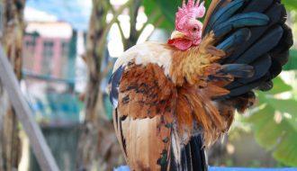Serama tới từ Indonesia - giống gà cảnh mini được ưa chuộng