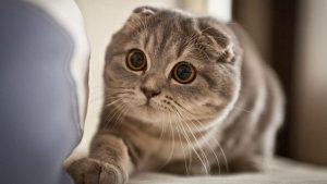 Mèo tai cụp siêu đáng yêu