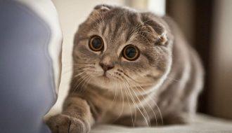 Sự đáng yêu không thể cưỡng lại của mèo tai cụp Scottish Fold