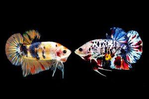 Màu sắc cá betta thu hút ánh nhìn