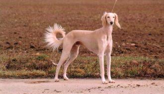 Tại sao những giống chó này được giới quý tộc yêu mến, xem trọng?