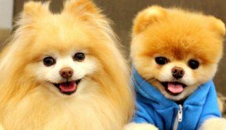 Tham khảo những giống chó cảnh được nhiều người lựa chọn nuôi