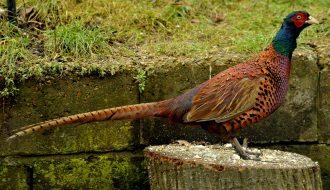 Thấu hiểu tất cả các loại thức ăn cho chim trĩ tốt nhất