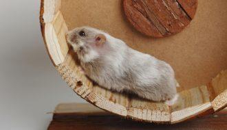 Tiết lộ cách chăm sóc chuột Hamster mới sinh chuẩn nhất