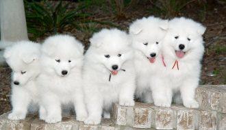 Tổng hợp thông tin về chó Samoyed được nhiều người yêu thích nhất