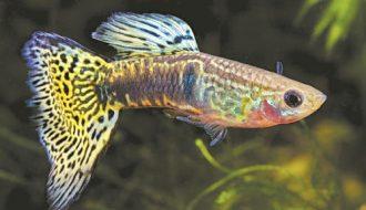 Kinh nghiệm chăm sóc cá 7 màu - dấu hiệu nhận biết cá mang thai