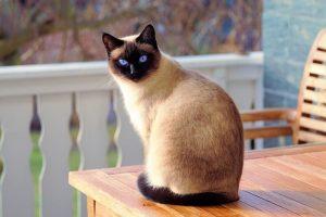 Mèo Xiem mang lại may mắn