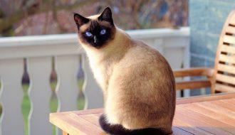 Vị thần may mắn mang hình dáng thú cưng: Mèo Xiêm