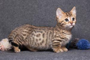 Mèo xúc xích Munchkin