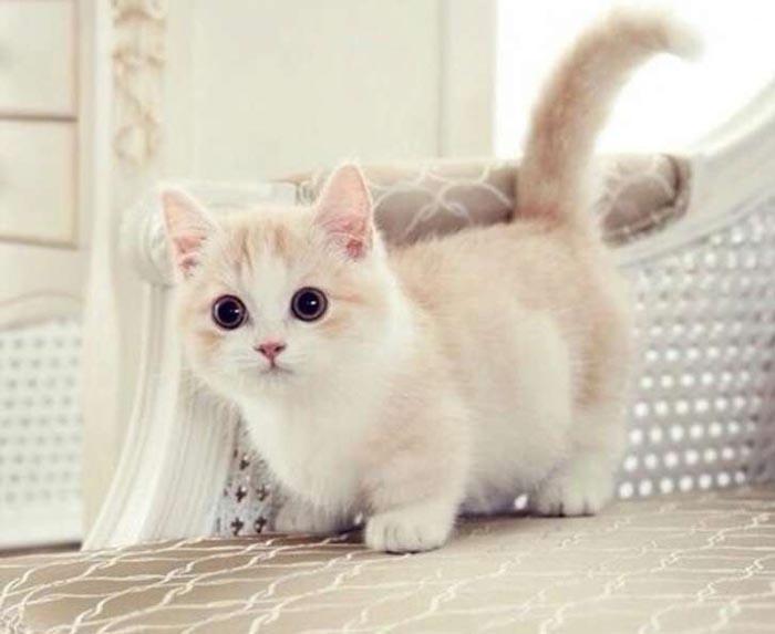 Mèo Munchkin hay còn gọi là mèo xúc xích